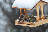 Hawfinch (Coccothraustes coccothraustes), adult male and Siskins (Spinus spinus), birds perched in a feeder, in winter with snow, Obernai, Alsace, France