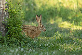 European hare (Lepus europaeus), at the time of reproduction, in the fields, arable land, Senlis region, Department of Oise (60), France