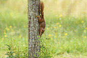 Red Squirrel (Sciurus vulgaris), descends from the trunk of a mirabelle plum where he came to eat green mirabelle plums in the fruit tree, grove, Senlis region, Department of Oise (60), France