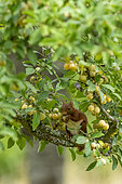 Red Squirrel (Sciurus vulgaris), eating green mirabelle plums in a fruit tree (European mirabelle plum), grove, Senlis region, Department of Oise (60), France
