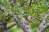 Green Woodpecker (Picus viridis viridis), an adult seeks to eat in a fruit tree (European mirabelle plum), orchard, Senlis region, Department of Oise (60), France