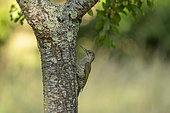 Green Woodpecker (Picus viridis viridis), juvenile seeking to eat along a mirabelle plum tree trunk in an orchard, region of Senlis, Department of Oise (60), France