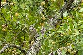 Green Woodpecker (Picus viridis viridis), a juvenile seeks to eat in a fruit tree (European mirabelle plum), orchard, Senlis region, Department of Oise (60), France