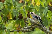Eurasian jay (Garrulus glandarius glandarius), eats green mirabelle plums in a fruit tree (European mirabelle plum), Orchard, Senlis region, Department of Oise (60), France