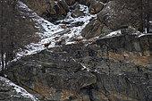 Alpine ibex (Capra ibex), Gran Paradiso National Park, Aosta Valley, Italy.