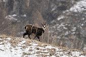 Alpine Chamois (Rupicapra rupicapra), Gran Paradiso National Park, Aosta Valley, Italy.