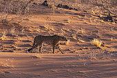 Cheetah (Acinonyx jubatus), captive, Private reserve, Namibia, Africa