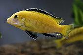 Blue Streak hap (Labidochromis caeruleus), male, fish from Lake Malawi, aquarium, apartment, Territoire de Belfort, France