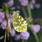 Orange Tip (Anthocharis cardamines), hatching of a butterfly, cardamine, meadow, Belfort, Territoire de Belfort, France