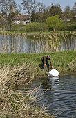 Pike (Esox lucius), 14-day-old fry, ponding, 20,000 fry per bag, Philippe Courtot fish farm, Vellescot, Territoire de Belfort, France