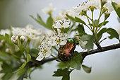 Rose Chafer (Cetonia aurata) on Hawthorn (Crataegus monogyna) in flower, garden, Plancher-Bas, Haute-Saone, France