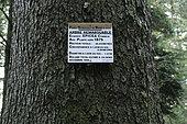 Spruce (Picea abies), Remarkable Tree, planted around 1875, near the Maison forestière du Willerhof, forest, Heiligenstein, Bas-Rhin, France