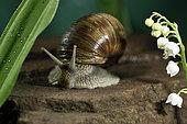 Burgundy snail (Helix pomatia), blooming lily of the valley (Convallaria majalis), spring, rain, garden, Belfort, Territoire de Belfort, France