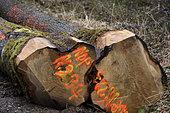 Oak logs (Quercus) offered by the municipality to rebuild the framework of Notre Dame de Paris cathedral, March 2021, forest, Moffans-et-Vacheresse, Haute-Saône, France