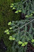 Silver fir (Abies pectinata), branch, young spring shoots, Ballon d'Alsace massif, forest, Sewen, Haut-Rhin, France