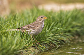 Corn Bunting (Emberiza calandra) lying on the ground at the edge of a pond, Navarre, Spain