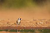 Goldfinch (Carduelis carduelis), at a pond, Castile, Spain