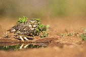 Little Owl (Athene noctua), at a pond, Castilla, Spain