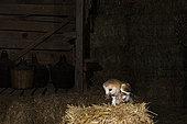 Western Barn Owl (Tyto alba) with a rodent in its beak, on a haystack, in a barn, El Barraco, Avila, Spain
