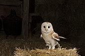 Western Barn Owl (Tyto alba), on a haystack, in a barn, El Barraco, Avila, Spain