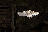 Western Barn Owl (Tyto alba), in flight in a barn, El Barraco, Avila, Spain