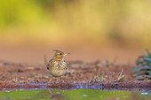 Crested Lark (Galerida cristata), near a watering hole, Castile, Spain