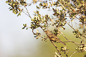 Common Whitethroat (Sylvia communis) perched in a tree, Castile, Spain
