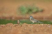 Subalpine Warbler (Sylvia cantillans) female near a pond, Castile, Spain