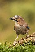 Eurasian Jay (Garrulus glandarius), Navarra, Spain