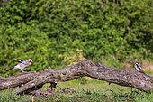 Eurasian Jay (Garrulus glandarius) and Spotted woodpecker (dendrocopos major) on a lying trunk, Navarra, Spain