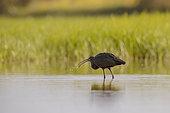 Glossy ibis (Plegadis falcinellus) catching an aquatic insect in the Aiguamolls marsh, Spain