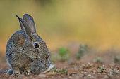 Wild rabbit (Oryctolagus cuniculus) eating, Castile, Spain