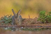Wild rabbit (Oryctolagus cuniculus) drinking, Castile, Spain