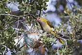 Eurasian Golden Oriole (Oriolus oriolus) Female with her young in the nest, Castilla y León, Spain