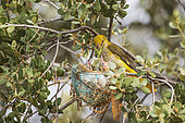 Eurasian Golden Oriole (Oriolus oriolus) Female feeding her young in the nest with a large green grasshopper (Tettigonia viridissima), Castilla y León, Spain
