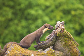 Pine marten (Martes martes) male on a stump, Navarra, Spain