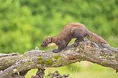 Pine marten (Martes martes) on a log, Navarra, Spain