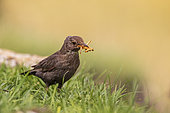 Blackbird (Turdus merula) Female with worms in her beak, which she is about to bring to her young, Navarre, Spain