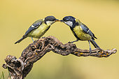 Chickadee (Parus major) male giving a worm to its young, Navarra, Spain