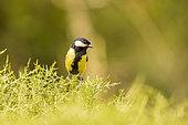 Great tit (Parus major) perched in a bush, Navarra, Spain