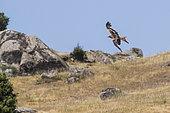 Red Kite (Milvus milvus) in flight, Navarra, Spain