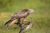Red Kite (Milvus milvus) on a branch, Navarra, Spain