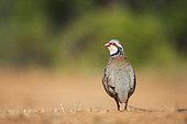 Red-legged Partridge (Alectoris rufa) back, Castilla, Spain