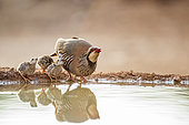 Red-legged Partridge (Alectoris rufa) and its chicks, drinking in a pond, Castilla, Spain