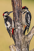 Great Spotted Woodpecker (Dendrocopos major) feeding is chick on a dead tree trunk, Navarra, Spain