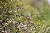 Chafinch (Fringilla coelebs) male perched in a bush, Navarra, Spain