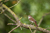 Rufous Nightingale (Luscinia megarhynchos) on a branch, Aiguamolls reserve, Catalonia, Spain