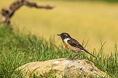 Siberian Stonechat (Saxicola torquata) male on rock, Navarra, Spain