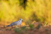 Eurasian Collared Dove (Streptopelia decaocto) on the ground, Castilla, Spain