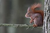 Red squirrel (Sciurus vulgaris) on a branch, France